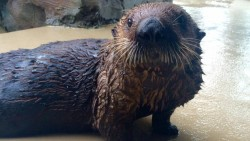 Miska the sea otter